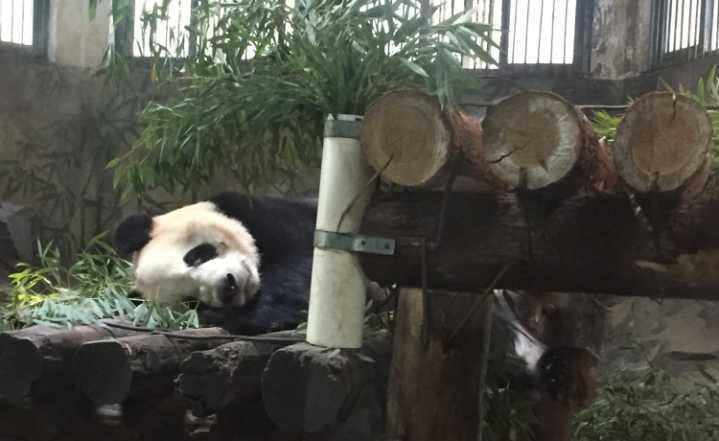 """【直播】阔别60天的大熊猫""""成就""""重出江湖"""